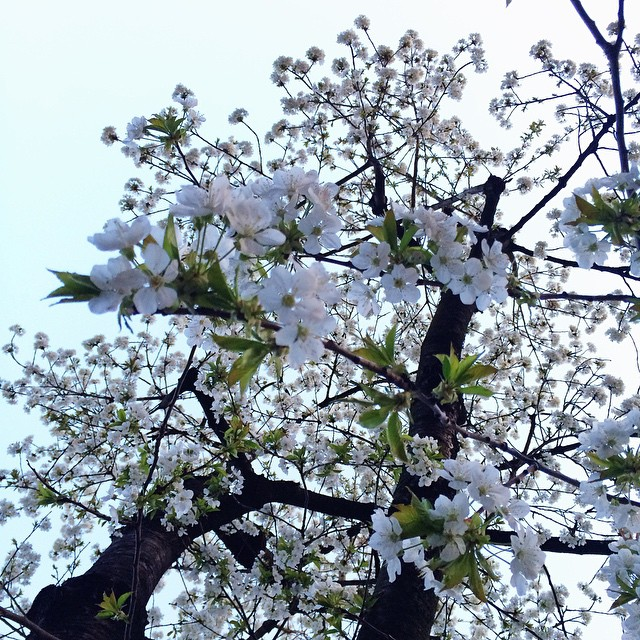 White Blossoms #spring #cologne