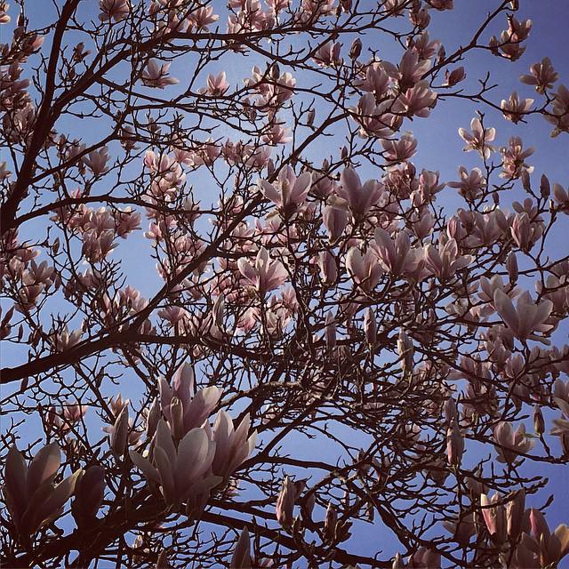 Spring Breakthrough #spring #magnolia #cologne